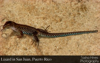 Lizard in Puerto Rico